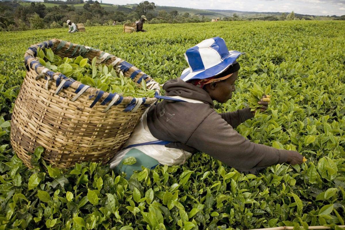 Kenya, thé aux pratiques durables