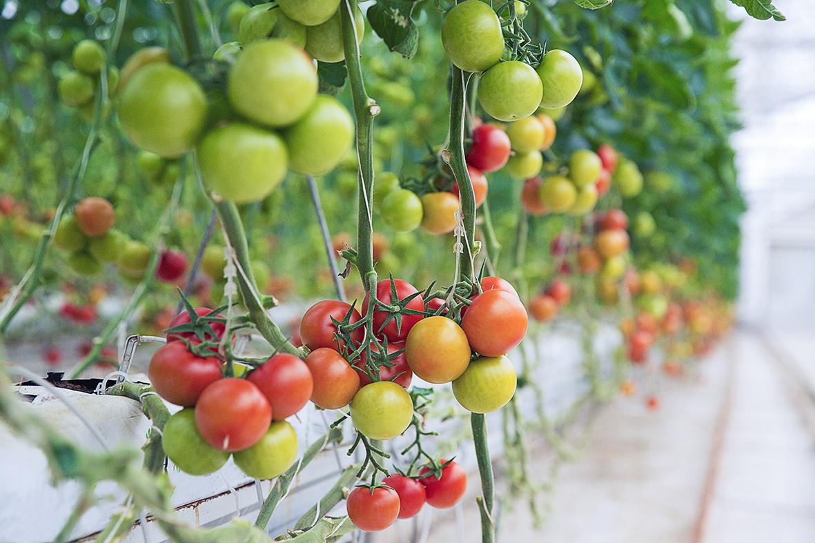 Menaces sur la tomate suisse